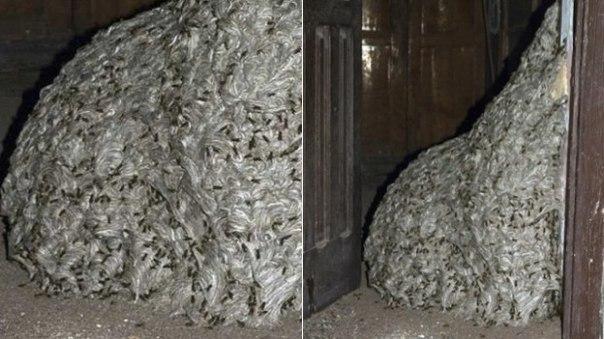 Полиция Испании обнаружила осиное гнездо размером с комнату!
