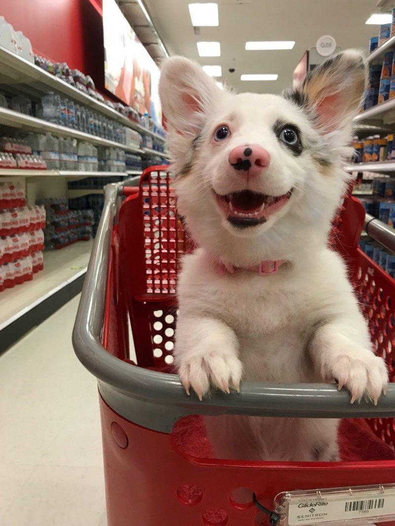20 обворожительных щенков, которые поднимут настроение на всю рабочую неделю корги, лабрадор, подборка, порода, шпиц, щенки, юмор