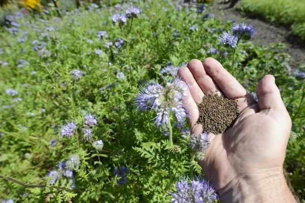 Плодородие почвы повышают с помощью сидератов. На фото фацелия