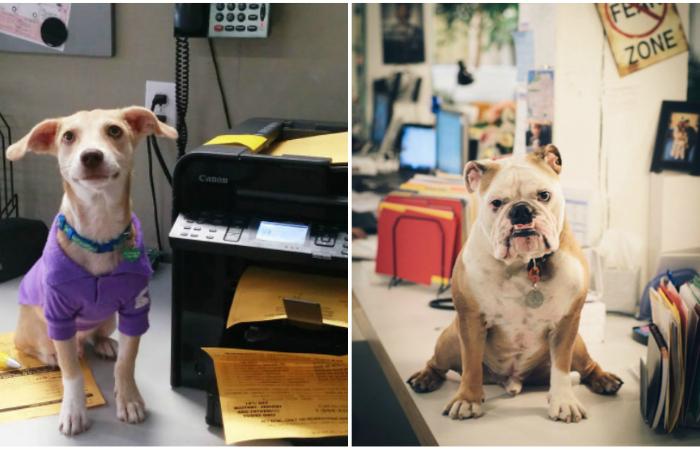 Фотографии, доказывающие, что собаки - отличные сотрудники.