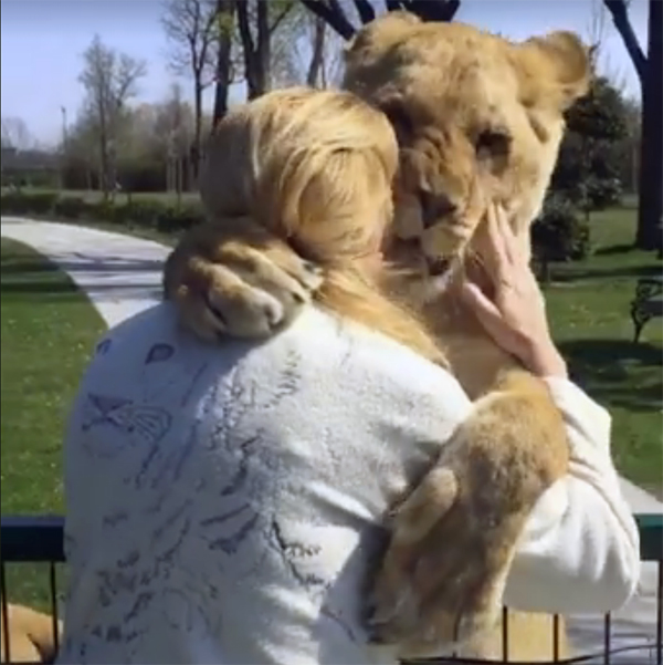 Эти львицы ведут себя куда ласковее, чем обычные домашние кошки