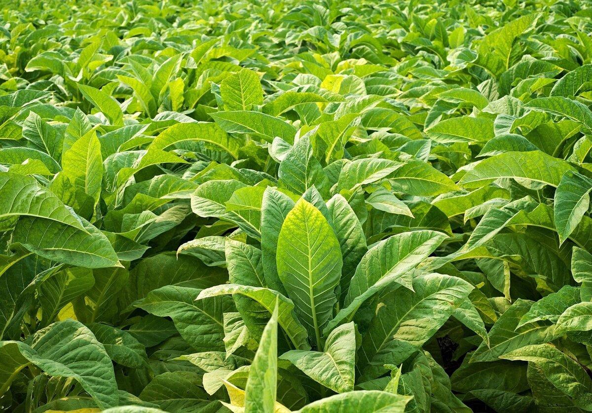 Самое опасное растение, поработившее весь мир: Табак