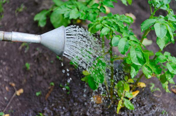 При регулярном поливе урожай будет более щедрым