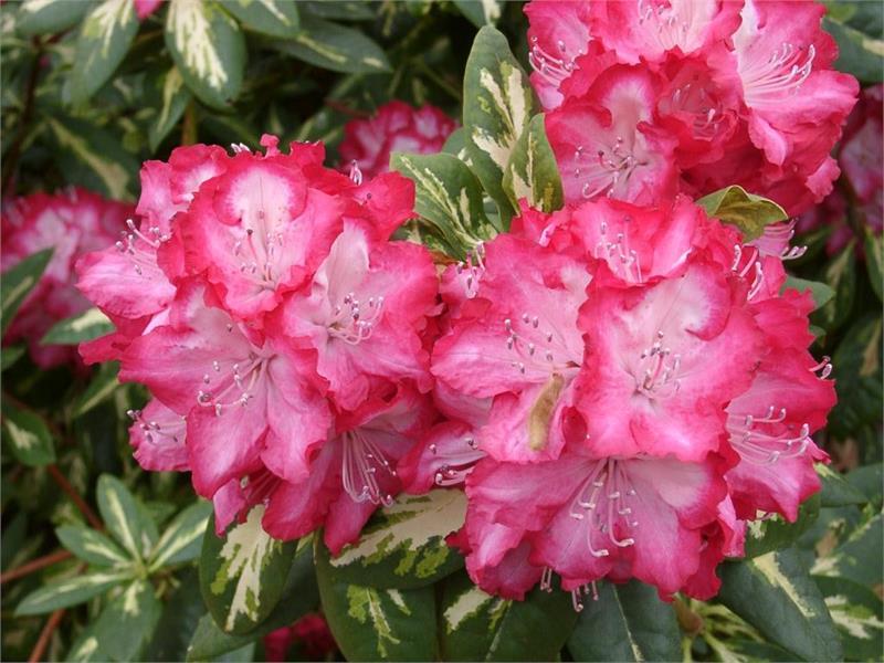 Рододендрон зачаровывает своим цветением.