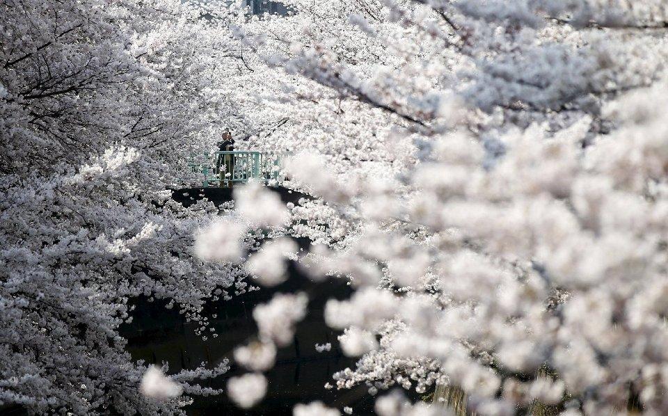 традиция любования цветущей сакурой-17