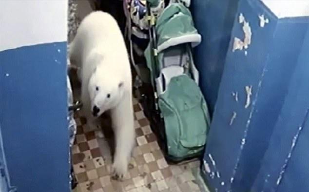 Белые медведи превратили заполярные города в территорию охоты