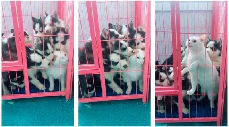 Щенки хаски навалились на кошку после того, как та имела неосторожность залезть к ним в клетку видео, животные, клетка, кошка, милота, собака, хаски, щенки