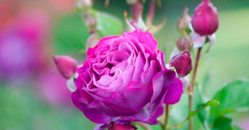 Обрезка роз пугает, но справится даже новичок! Радикальная обрезка весной запускает новый здоровый рост…