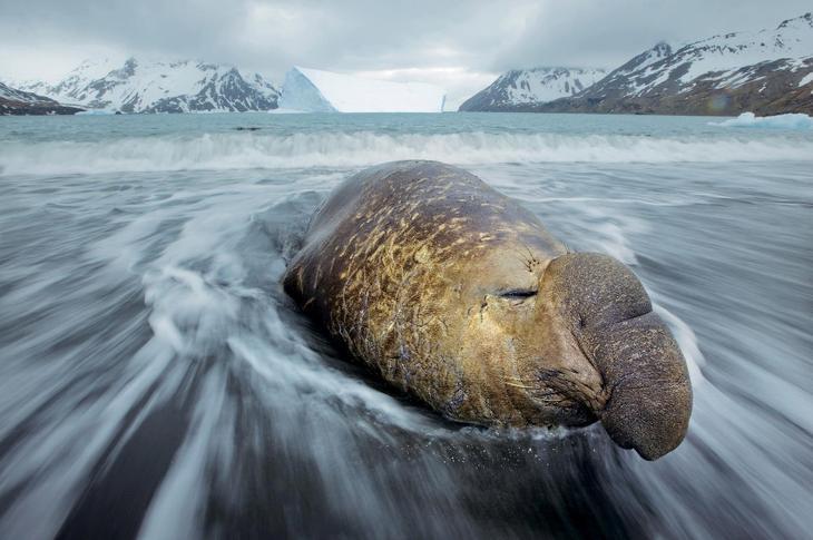 Морской слон на берегу Фортуна-Бей, остров Южная Георгия