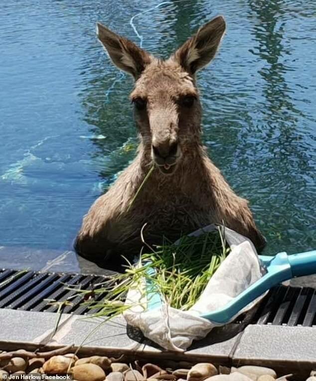 Хозяйка дома даже предложила незваному гостю немного свежей травы, и тот с аппетитом уплетал угощения (пока ехали службы спасения животных) австралия, видео, животные, забавно, забавные животные, кенгуру, неожиданно, сюрприз