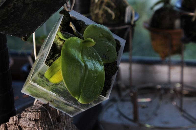корни орхидеи гниют