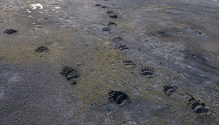 Подробнее о медвежьих лапах
