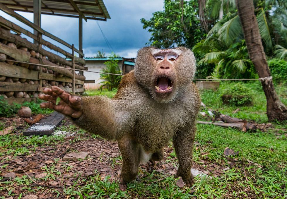 В Таиланде, вместо сторожевых собак используют обезьян