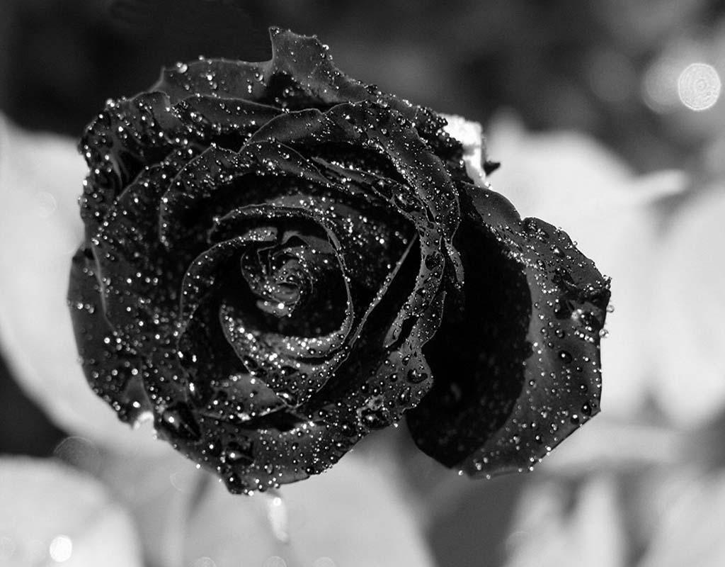 Черно белое фото цветов в росе