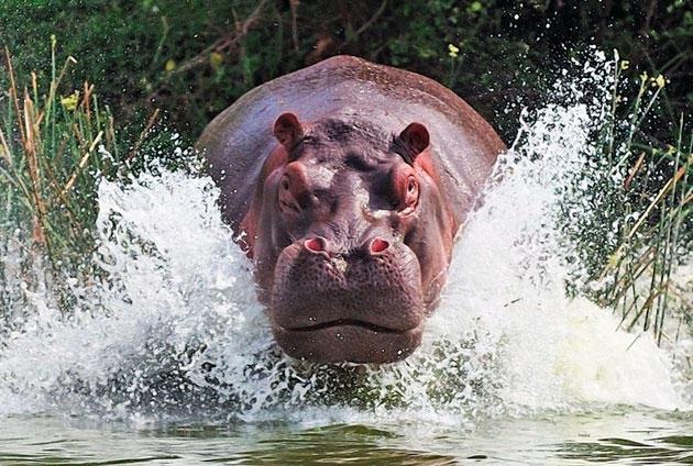Как охотиться на бегемота на реке Волге