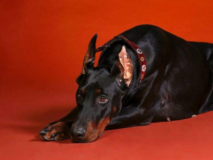 Протест собаки против хозяев