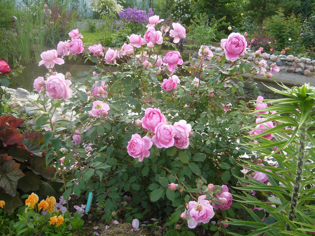 следствие, роза аленушка фото и описание ремонт, выполняемый