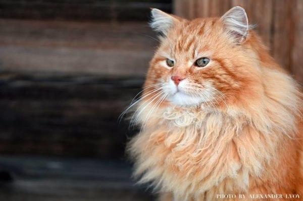 Рыжий кот Кеша - смотритель острова Кижи