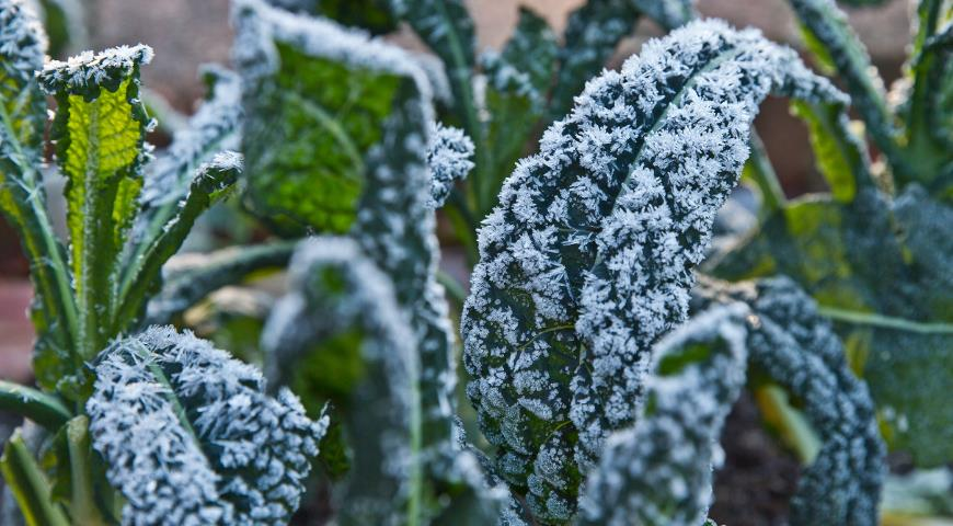 Что такое капуста кале и почему ее стоит посадить у себя на даче? дача,овощи,сад и огород,урожай