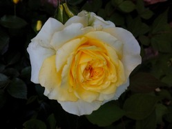 Ещё один способ размножения роз!