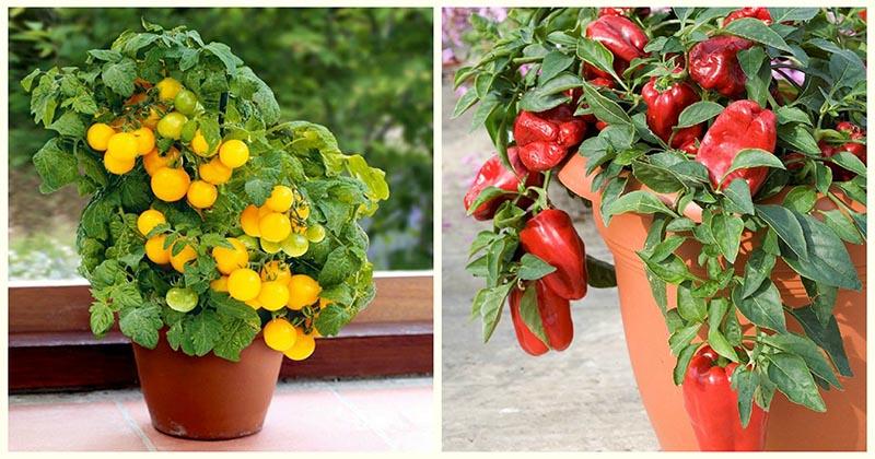 Не хуже, чем в огороде: овощи и зелень, идеально подходящие для выращивания в горшках