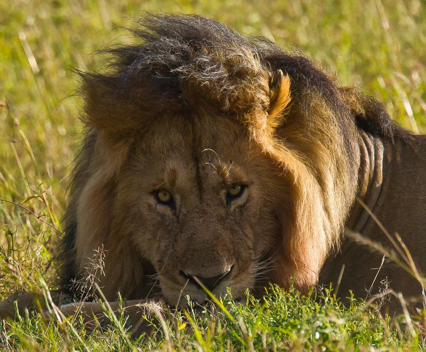 многих африканские львы фото интернет-магазине цветное