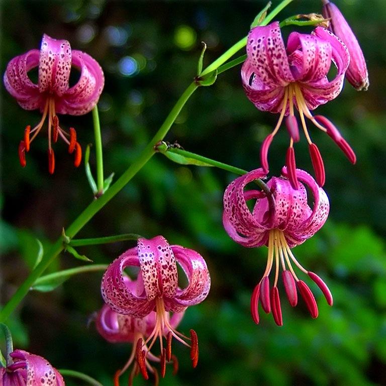 Цветы саранки фото