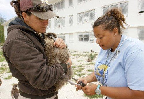 Биологи окольцовывают птенца Мудрости в мире, мудрость, птица, ученые, чайка, яйцо
