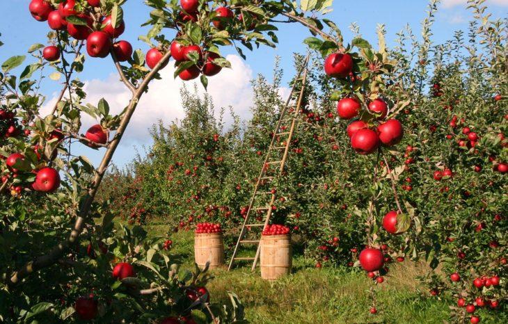 Российское эмбарго до сих пор бьёт больно: садоводы ЕС страдают от обилия яблок геополитика