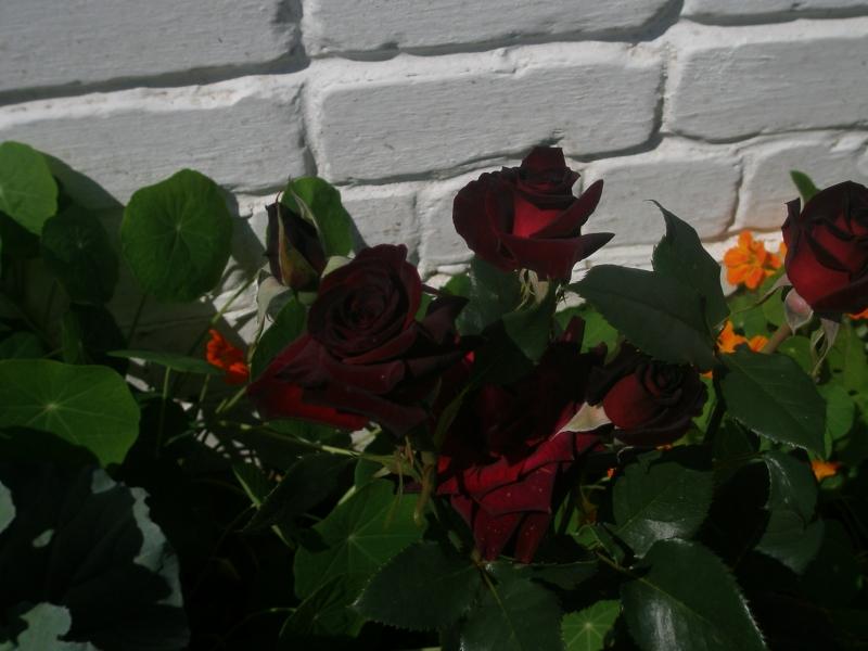 Разновидности роз (Блэк Баккара)