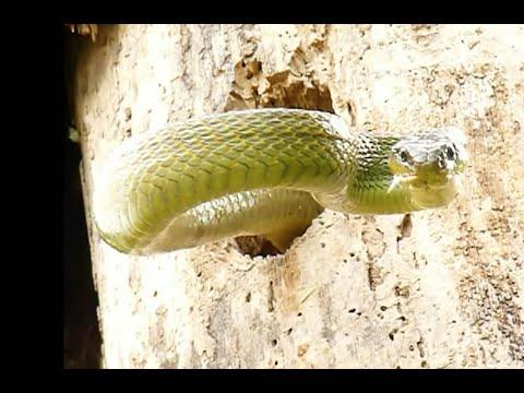 Дятел сражается со змеей, съевшей его птенцов – потрясающее видео