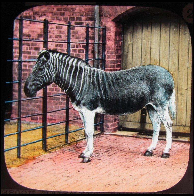 Удивительные цветные фотографии первых животных, содержащихся в лондонском зоопарке в цвете, живность, животные, зоопарк, интересно, прошлое, фото