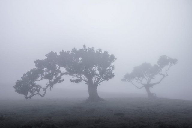 Живописные деревья древнего леса Мадейры