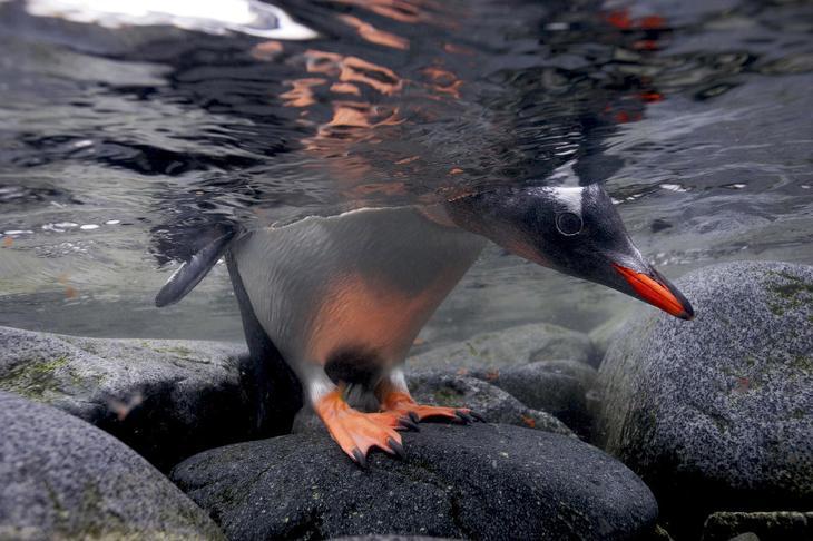 Птенец папуанского пингвина заглядывает в воду
