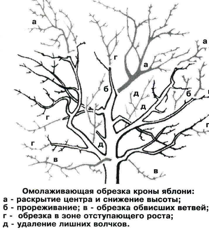 Как омолодить старое дерево