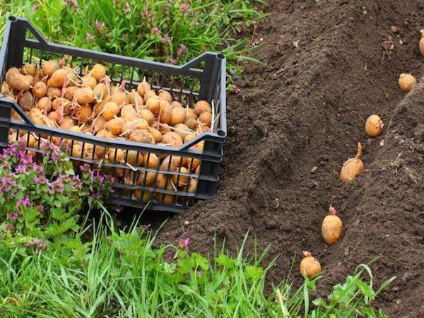 Сошел снег? Выходим сажать картошку!
