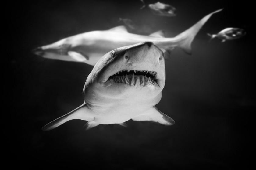 Картинки с акулами страшные