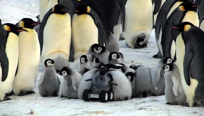 Робот-пингвин для слежки за дикими сородичами