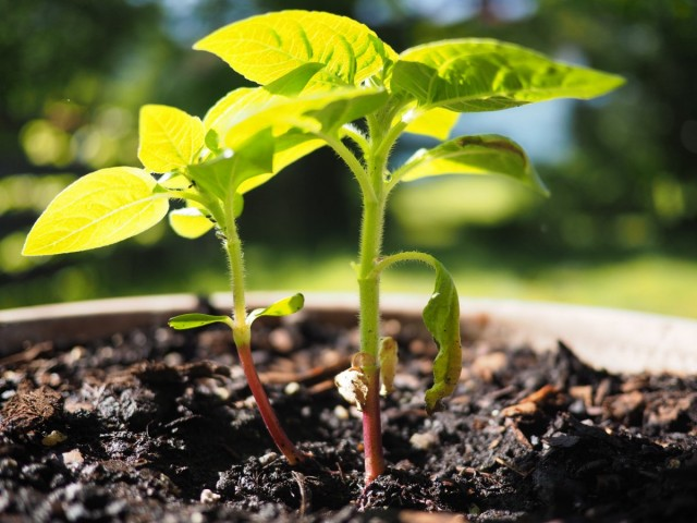 Выращивание декоративного подсолнечника из семян