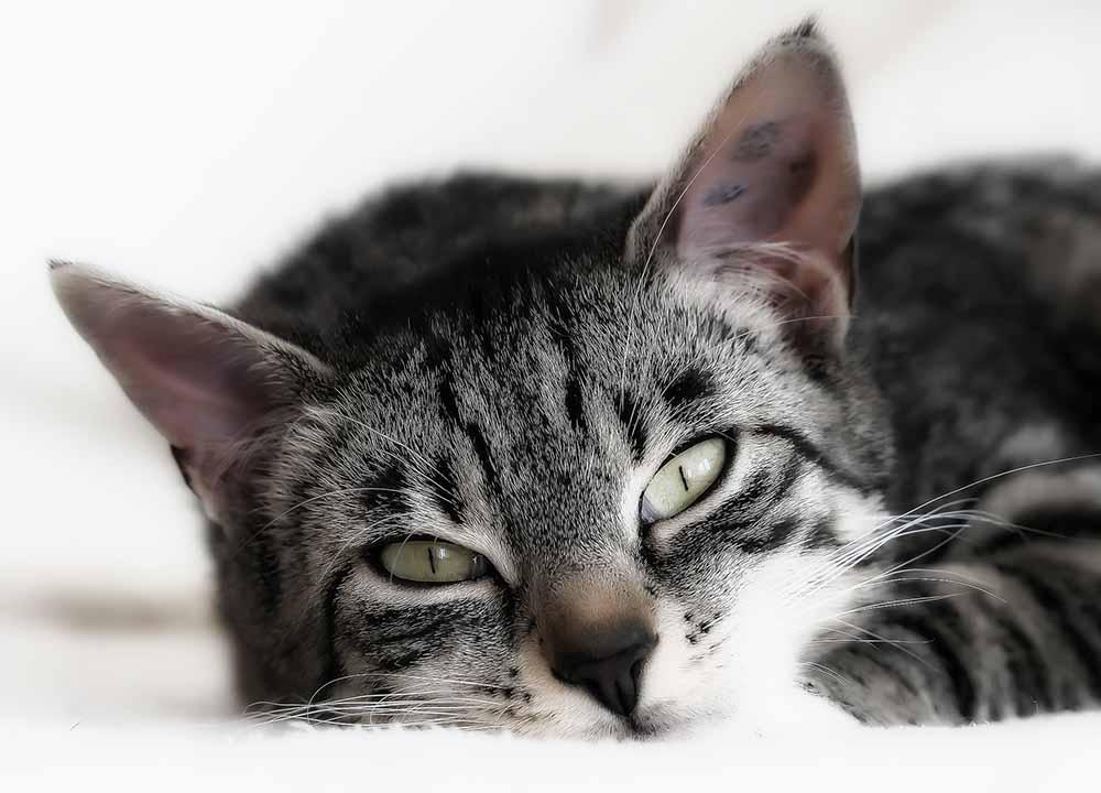 Гемобартенеллез у кошек животные,интересные факты