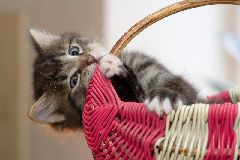 9. Как и у человеческих детей, у котят выпадают молочные зубы. кот, кошка, факты