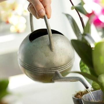 Как часто стоит поливать орхидеи?