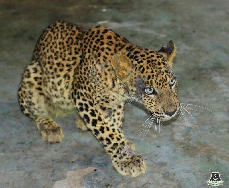 Фермеры заметили раненого леопарда, который без сил лежал на угодьях