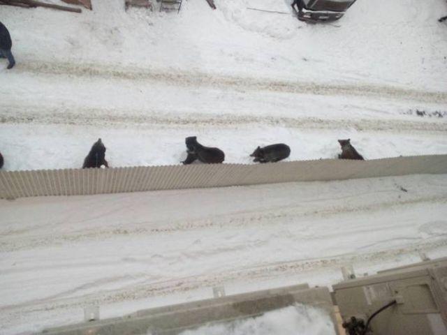 Медведи под окнами офиса в Иркутске