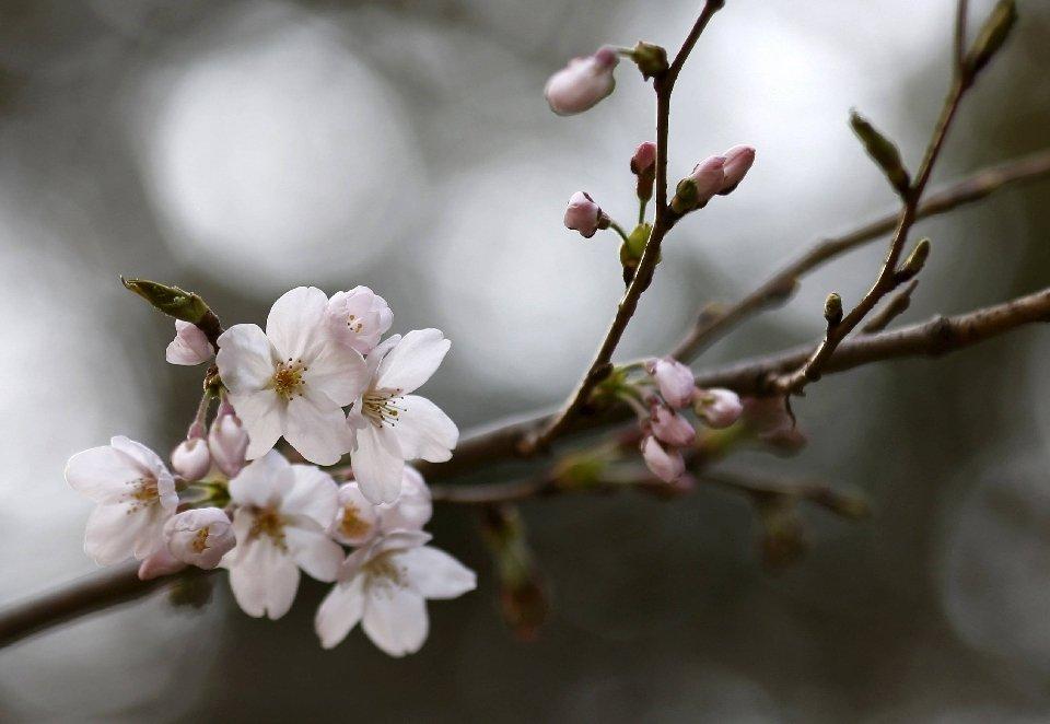 традиция любования цветущей сакурой-12
