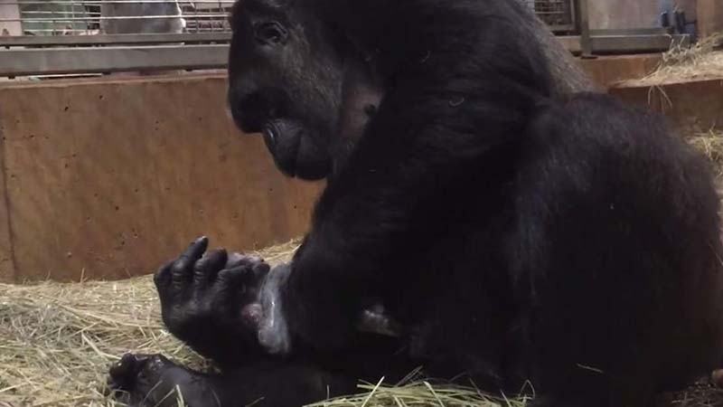 Сплошное удовольствие: в зоопарке все наблюдают как горилла постоянно целует своего новорожденного малыша