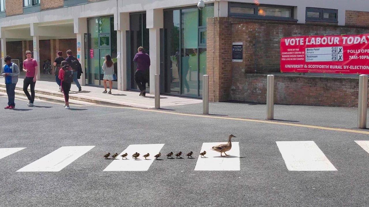 В Англии даже утки соблюдают правила дорожного движения!