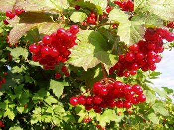 Лечение авитаминоза плодами растений