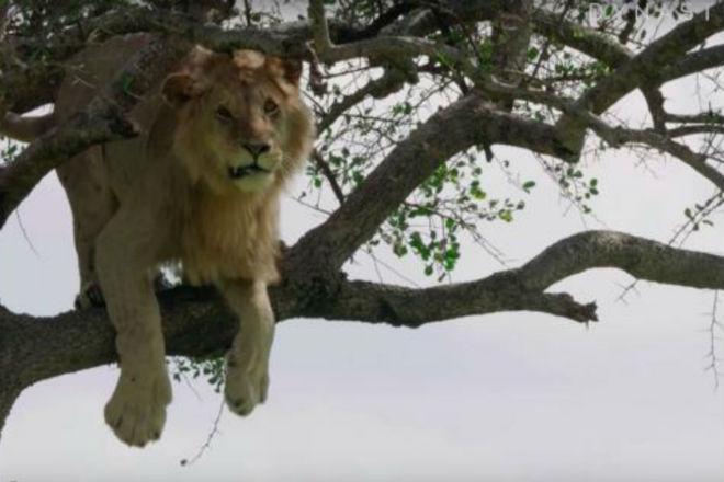 Самый трусливый лев Африки