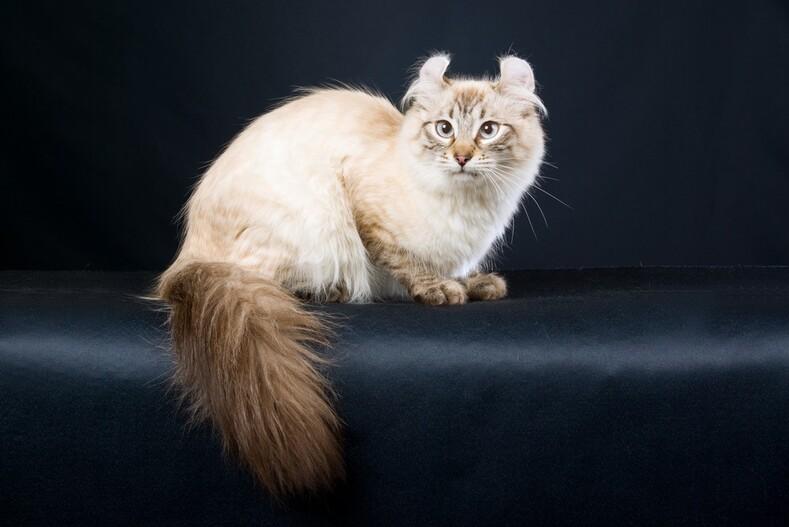 Самые редкие и дорогие породы кошек в мире животные,интересное,кошки и коты